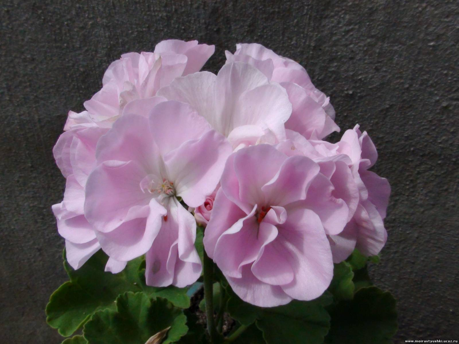 Moonlight violino фото цветов
